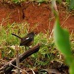 Madagascan magpie-robin