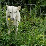 Wolf Sanctuary of PA照片