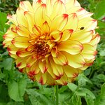 one of the beautiful dahlias, not to be missed