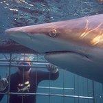 Φωτογραφία: Shark Cage Diving