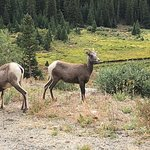 Mountain sheep by road east of top of pass
