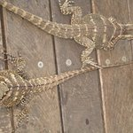 Water dragons abound at Frogs