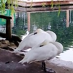 Peasholm Park - Sleeping Swans!