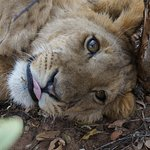This cub had to stick out his tongue while resting