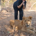 Walking with the lions. We carry a walking stick which we point towards them for control