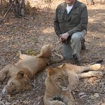 Others in the group walking with the lions. See how relaxed they are