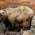 Grizzly bear in a diorama