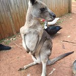 Friendly kangaroos