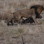 Male lions fight over kill