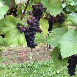 Red grapes almost ready for harvest