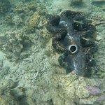 large clam