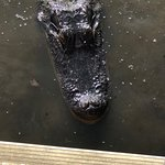 Just one of the many gators that came up to the boat