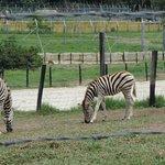 Las famosas caballo-cebras habitan en esta hacienda.