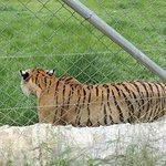 Podrás ver tigres, jaguares, leones y hasta pumas.
