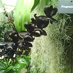 Black fragrant orchid