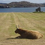 A coo and a ruin in a field