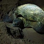 Momma Green Sea Turtle