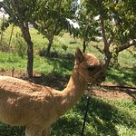 Foto di Suncrest Orchard Alpacas