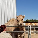 Dromedary happy to visit with tour