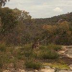 Wallaby at Giraween National Park