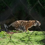 Mike the Tiger Habitat Foto