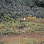 Bull Moose laying down