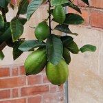 Lemons growing in the orangery
