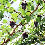 Grapes growing in the greenhouse