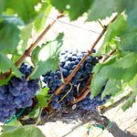 Grapes in the wineyard