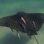 Spotted Eagle Ray off of Shell Island
