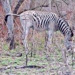 Billede af Kruger National Park