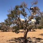 Goats on argan trees