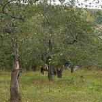 Яблоневый сад и лошади