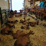 troupeau au repos