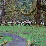 Roosevelt Elk in Olympic National Park