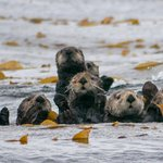 Sea otters anchored in a kelp bed
