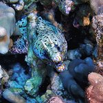Dragon moray - 2 tank morning reef