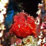 Decoy scorpion fish - 2 tank morning reef