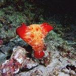 Spanish dancer - night reef dive