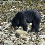 Black bear searching for breakfast