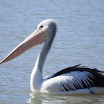 saw lots of pelicans
