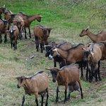 retour des chèvres