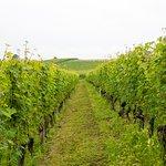 Vines at Cadia