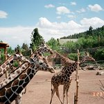 Giraffes, Cheyenne Mountain Zoo
