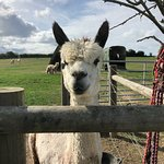 Foto di West Wight Alpacas
