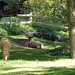 resident sheep :)