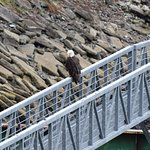 An eagle visiting our ship ramp