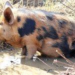 pig in bath