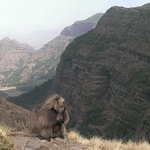 among the seven big mammals in Ethiopia, The gelada baboon is the olny  primate feeds on grass.