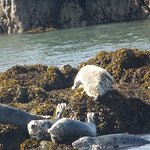 group of grey seals hauled up on rocks in forth estuary